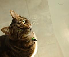 Waiting... (.OhSoBoHo) Tags: cute kitchen cat feline waiting sweet tabby kitty lucky felino gatto browntabby katzemchat