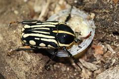 Mecynorrhina kraatzi (Mashku) Tags: nature beetle insects beetles coleoptera cetoniidae cetoniini cetoniine