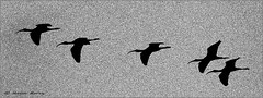 Glossy Ibis (Kevin B Photo) Tags: autumn wild sky blackandwhite bw usa abstract motion bird fall nature wet beautiful beauty birds silhouette horizontal america outdoors photography fly flying wings movement day alone exterior unitedstates graphic artistic florida wildlife south grain flight wing dramatic calm southern wetlands vegetation manmade daytime fl marsh noise winged avian wetland glossyibis serenitynow wowiekazowie wellingtonpreserve