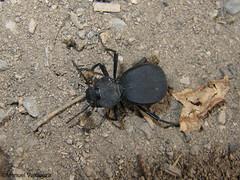 escaravelho (Akis tuberculata) 6584286357_1970f72309_m