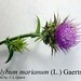 "Silybum marianum (L.) Gaertn., Asteraceae • <a style=""font-size:0.8em;"" href=""http://www.flickr.com/photos/62152544@N00/6596737333/"" target=""_blank"">View on Flickr</a>"
