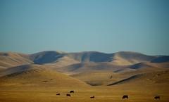 Lost Hills (mrjaja) Tags: california sky usa mountain hot america landscape cows unitedstatesofamerica bluesky hills vast losthills canoneos500d mrjaja