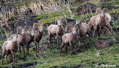 Bighorn Family Reunion (S McKinzie / McKustoms) Tags: nature animals wildlife goats rams mountaingoats bighornsheep oregonwildlife