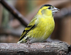 Bright and beautiful! (Judy's Wildlife Garden) Tags: yellow siskins brightbeautiful judykennett knightonpowys