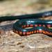 Juvenile Western Mud Snake