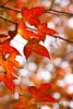 Red (raymondccc) Tags: autumn winter red fall leaves leaf maple acer 紅葉 秋 冬 葉 楓 canonef70200mmf4lisusm canoneos450d ringexcellence