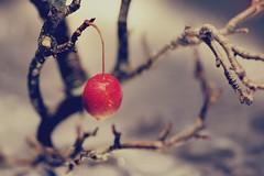 Princess apple (Y*WADA) Tags: winter apple nature japan nikon princess 自然 冬 盆栽 植物 りんご