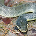 AHS 2006 Spring Field Trip / Plainbelly Water Snake