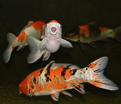 Aquarium fish, Danube Delta Natural History Museum Tulcea, Dobrogea, Romania