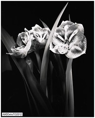 Amaryllis Close-up- on 8x10 (DelioTO) Tags: flowers winter stilllife toronto ontario canada closeup blackwhite pinhole 8x10 xray ro9 f317 januaryr2000