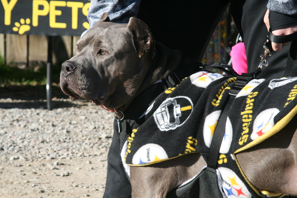 b5bcb7f24 Steeler fan against canine cancer (Western PA Humane Society) Tags  rescue  dog pittsburgh
