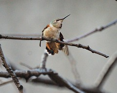 Confused Winter Hummingbird