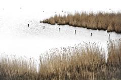 Hinterm Deich (ausschnittsweise) # 3 (ajurgenowski) Tags: lake reed netherlands pool landscape coast eau nederland zeeland côte shore paysage teich landschaft paysbas schilf watercourse niederlande étang kueste roseau kamperland littoral debanjaard gewaesser noordbeveland hintermdeich nikond90 provinciezeeland behindthedike
