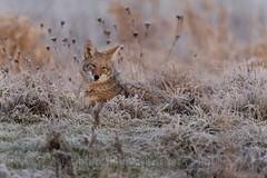 Comfort in Front of the Camera (Wandering Sagebrush) Tags: coyote morninglight washington frost resting naturesfinest canislatrans ridgefieldnationalwildliferefuge sweetsally coyotedsc3532