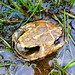 Eastern Musk Turtle Shell