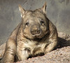 WOMBATS (Photo copyright Wikipedia)