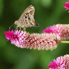 Dorantes Skipper on fuzzy pink Celosia (jungle mama) Tags: skipper proboscis celosia fairchildgarden fairchildtropicalbotanicgarden supershot brownskipper dorantesskipper mygearandme blinkagain