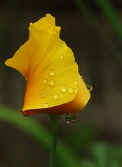 Californian Poppy (Olga NZ) Tags: flower water yellow garden drop droplet californianpoppy