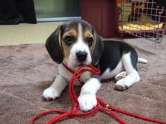Kaiser - Jan 2006 (2 month-old) (Kaiser the Beagle) Tags: dog beagle puppy finepix fujifilm fujifilmfinepixf11
