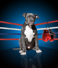 Rocky, the all American Pitbull Terrier Puppy Dog (Beverly & Pack) Tags: blue red portrait dog pet white reflection cute dogs corner photoshop puppy mirror sitting image picture rocky patriotic bull ring pitbull terrier gloves american boxer boxing staffordshire pitbulls apbt americanpitbullterrier digitalbackground