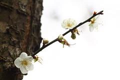 IMG_6251 (Sandor's Album) Tags: flowers flower blossom plum hsinchu taiwan       nationaltsinghuauniversity drmeimemorialgarden