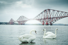 swans (joannablu kitchener) Tags: bridge winter cold scotland nikon swans forthbridge queensferry southqueensferry d700 kitchenerphotography