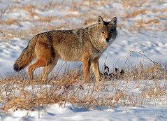 Alpha Male Coyote (Explored) (Windows to Nature) Tags: coyote nature nikon explore fermilab widlife canislatrans prairiewolf specanimal d7000