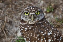 Burrowing Owl Portrait (Andy Morffew) Tags: portrait island owl marco burrowingowl birdperfect andymorffew morffew