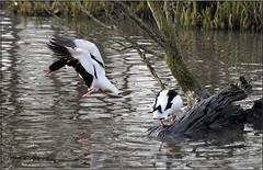 COMMON SHELDUCKS (Shaun's Nature and Wildlife Images....) Tags: ducks shaund