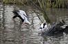 COMMON SHELDUCKS (Shaun's Wildlife Photography) Tags: ducks shaund