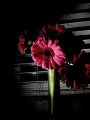 Day 142/365 Dark Daisies (jane the artist) Tags: lighting pink flowers flower night daisies project mood gerbera daisy blinds 365