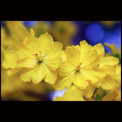 Springtime (-clicking-) Tags: flowers macro nature floral yellow closeup golden petals spring flora dof natural blossom bokeh stamens vietnam bloom springtime blooming springgarden pistils tt chcmngnmmi hoamai maivng hihoaxun vietnameseflowers