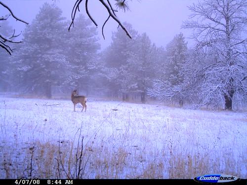Photo - Mule Deer