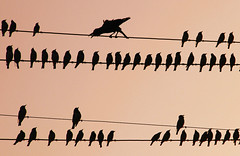 Rosy Pastor(ale) with crow (jmanj) Tags: sunset india urbannature baroda starlings silhouttes electriclines vadodara citybirds birdphotography birdsonwires junglecrow rosypastors johannesmanjrekar