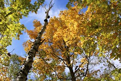 Canopy (Reptilian_Sandwich) Tags: statepark autumn trees sky orange color green up leaves walking maple hiking michigan branches birch afternoonlight deciduousforest lakeshoretrail porcupinemountainswilderness