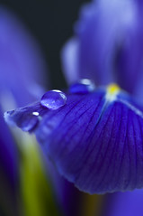 Iris (~ Maria ~) Tags: flowers blue iris stilllife purple drop iridaceae ginordicjan12