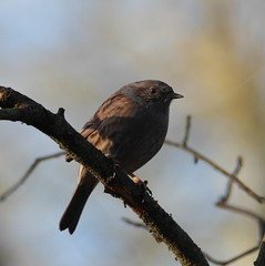 Birdy (Martine&Mick) Tags: dunnock sparrow hedge heggemus