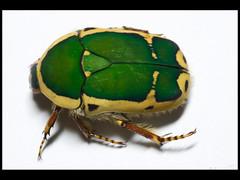 Pachnoda stehelini (Mashku) Tags: nature beetle insects beetles coleoptera scarabeidae pachnoda cetoniidae cetoniini cetoniine