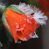 cold rose , explored! ( #489 ) (bugman11) Tags: flowers winter snow flower macro ice nature rose canon petals flora ngc nederland thenetherlands npc autofocus thegalaxy platinumheartaward awesomeblossoms mygearandme mygearandmepremium mygearandmebronze mygearandmesilver mygearandmegold mygearandmeplatinum mygearandmediamond ringexcellence allnaturesparadise rememberthatmomentlevel1