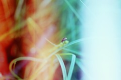Summerbug (bellydnce1103) Tags: light red summer white green film grass 35mm bug insect lens nikon 55mm ladybug f3 leaks