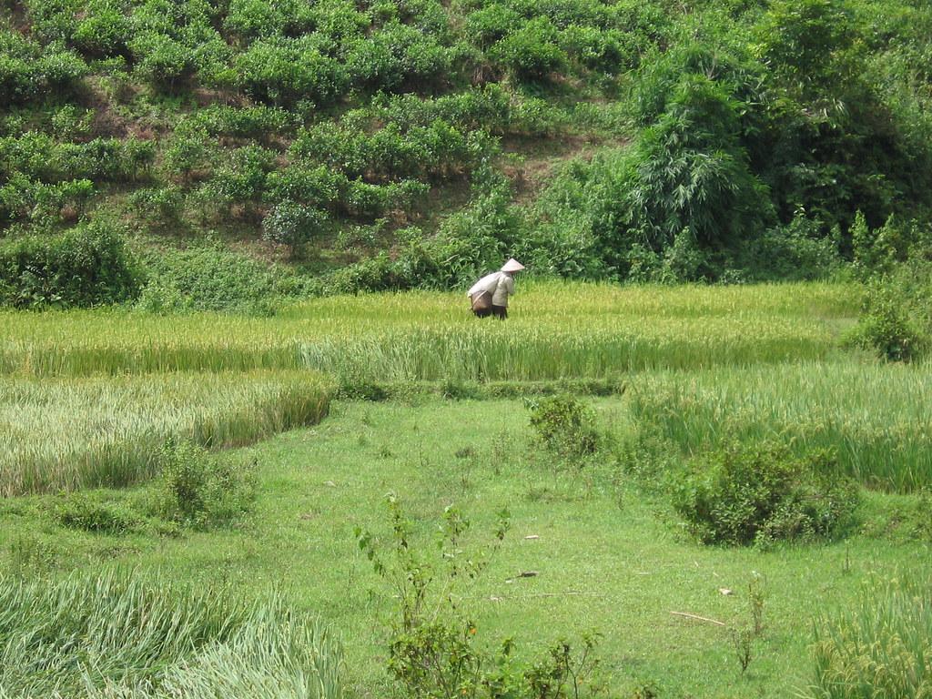 Paysan dans la rizière