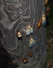 Cicadas (Tracy Gonnerman) Tags: insectsandspiders