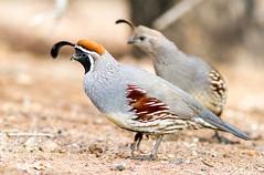 Gambel's Quail (Ed Sivon) Tags: vegas southwest bird nature canon lasvegas wildlife nevada 300mm nevadadesert clarkcounty
