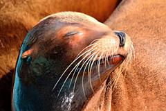 Sea Lion During Sleep / 上野動物園のアシカ