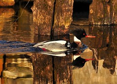 The water was like ......... (l_dewitt) Tags: water duck spring waterfoul wildlife northeast merganser southeastern redbreastedmerganser wildlifephotos connecticutstateparks connecticutwildlife southeasternconnecticut newenglandwildlife nikonimages waterfoulimages