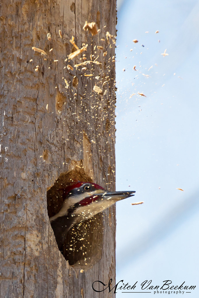Under Construction (Pileated Woodpecker)