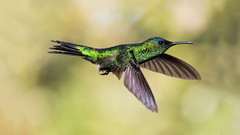 Violet-capped Woodnymph (Thelma Gatuzzo (off the air)) Tags: moon fauna flora hummingbird sopaulo natureza aves astrofotografia hummingbirds pssaros beijaflor oiseau vogel oiseaux colibri brasileiros amparo 2015 mataatlantica colibris montealegredosul pajro avesbrasileiras pousadadafazenda thelmagatuzzophotography thelmagatuzzo