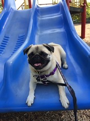 silly pug in the playground (wombatarama) Tags: pug