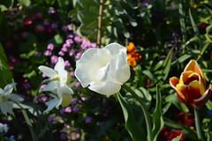 DSC_0032 (zeenat_sumra) Tags: pink flowers red roses flower castle heritage history rose germany garden deutschland spring nikon tulips may rosa palace unesco mai tulip schloss potsdam brandenburg garten frühling sansoucci tulpen tulpe fruehling historiche