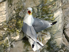 Kittiwake (Peanut1371) Tags: orange cliff white birds yellow grey kittiwake bemptoncliffs nationalgeographicwildlife